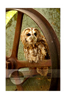 Troy the Tawny Owl, The Hawk Conservancy Trust, Andover, Hampshire, United Kingdom
